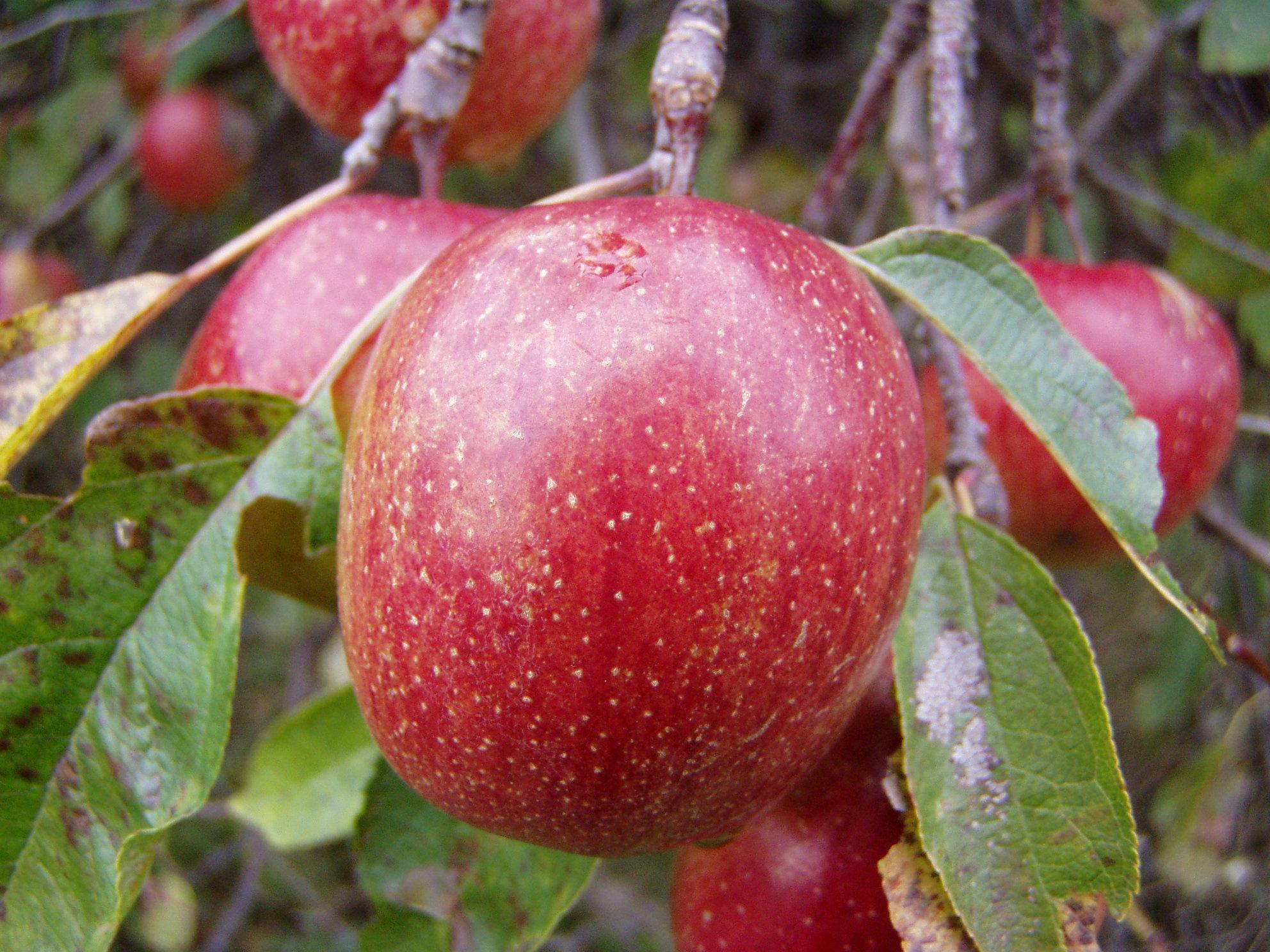 wild-apples-1513513.jpg